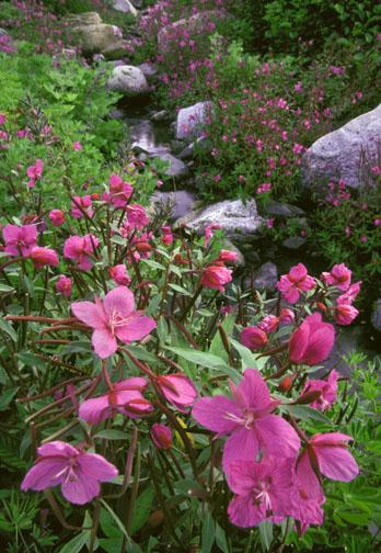 Alaska, Fireweed